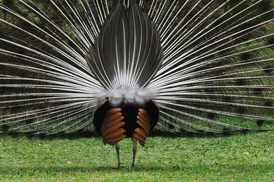 Peacock's back.