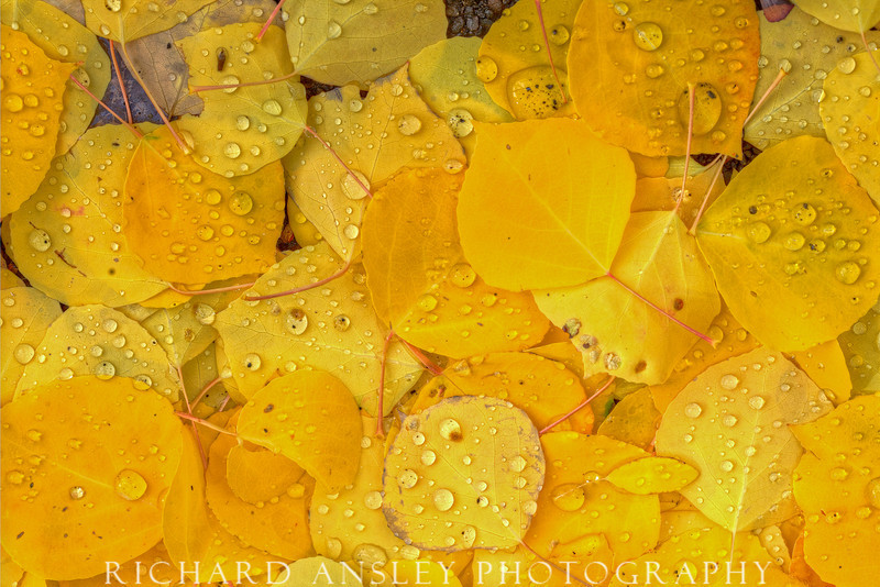 Raining Gold-Wasatch Mountains, Utah