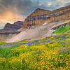 Timpanogos Wildflowers 1-Wasatch Mountains, Utah