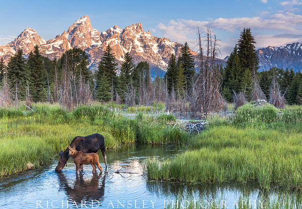 Teton Moose (limited edition of 250)