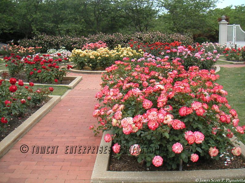 Rosy Path