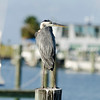 Blue Heron on Post