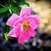 Rose at Zilker Botanical Gardens, Austin Texas #1