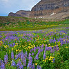 Timpanogos Wildflowers 2-Wasatch Mountains, Utah