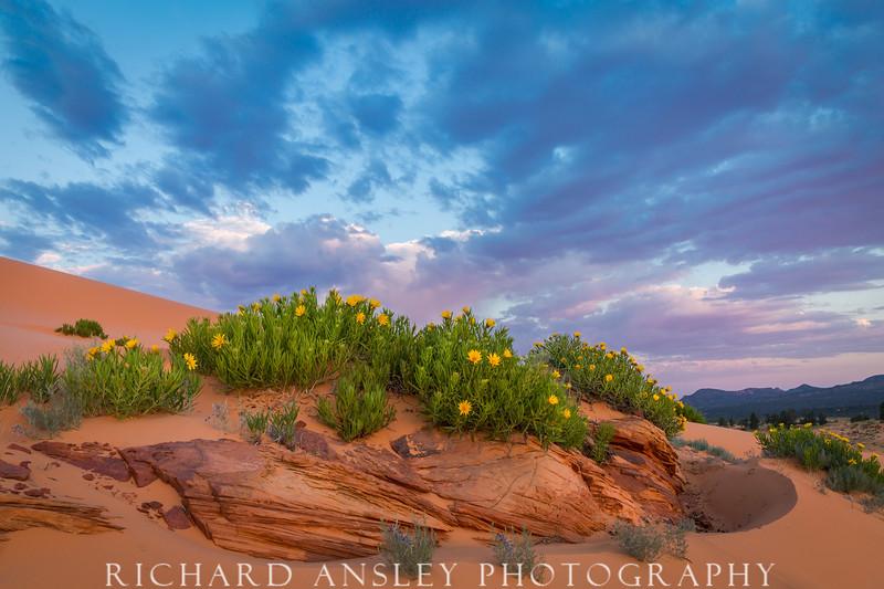 Blooms, Dunes & Clouds-Coral Pink Sand Dunes, Utah