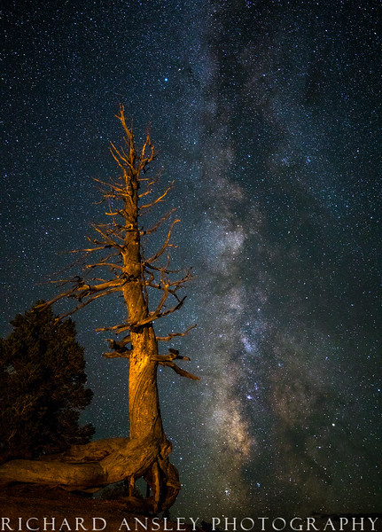 Starry Pine-Bryce Canyon, Utah