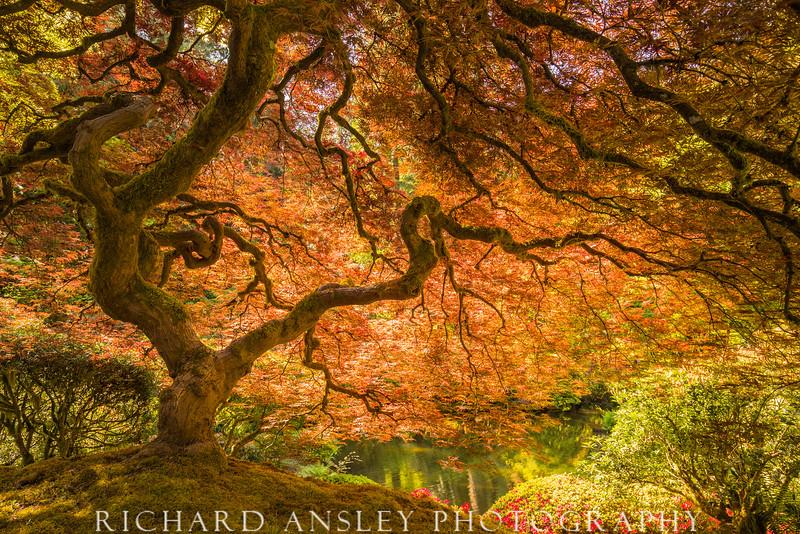 Marvelous Maple-Spring