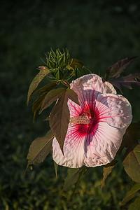 Morning Hibiscus