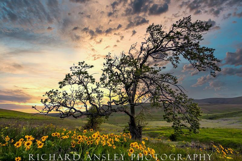 Sunset Oak in Oregon Hills