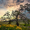 Sunset Oak Oregon Hills