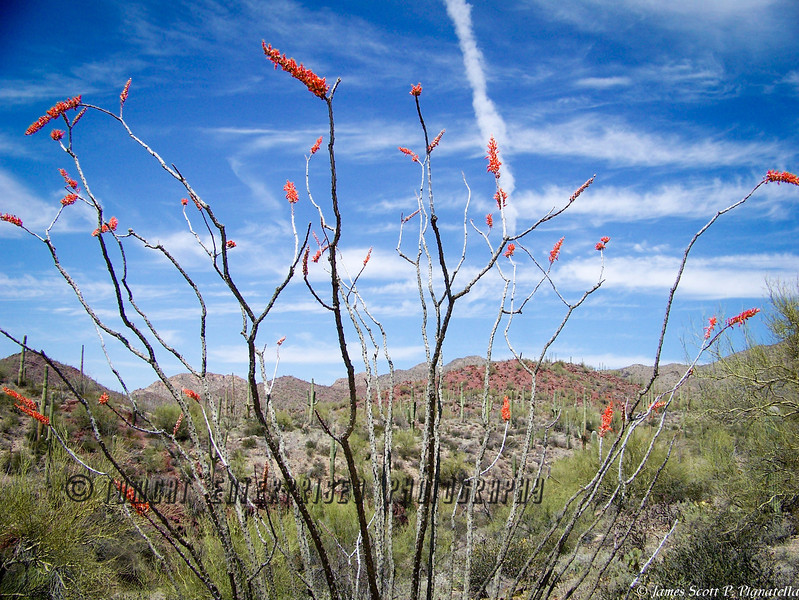 Summer Ocotillo