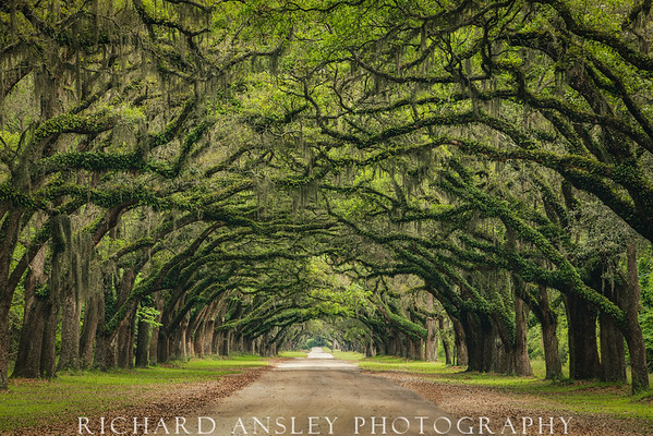 Oak Lined Road-Wormsloe Plantation, GA