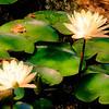 Water Lilies at Zilker Botanical Gardens at Austin Texas