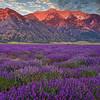 Lavender Field-Mona, Utah