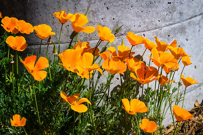 Springtime Poppies!