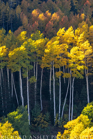 Graceful Aspens-Wasatch Mountains, Utah
