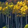 Graceful Aspens-Wasatch, Utah