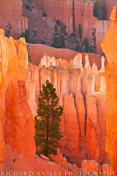 Lone Pine in Giant Castles-Bryce NP, Utah