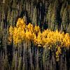 Wasatch Autumn-Gold Fever, Utah