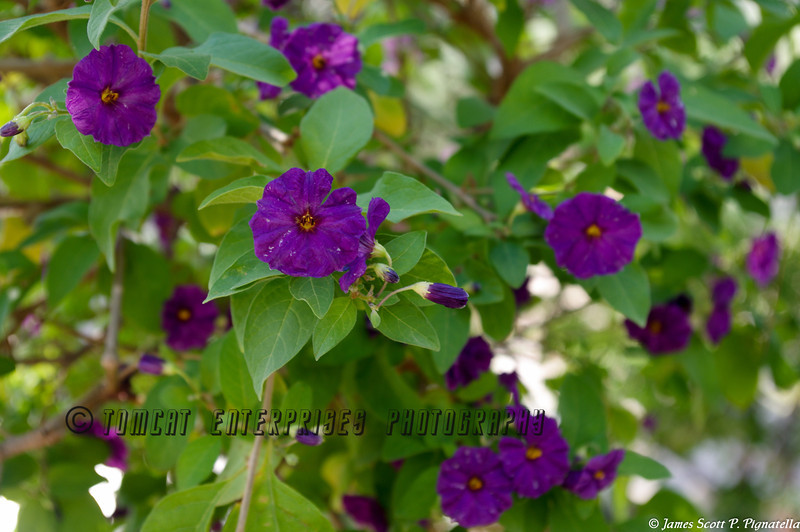 Purple Bloomers