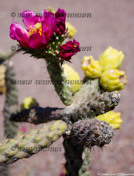 Blooming Cholla