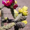 Blooming Cholla