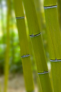 Selective depth of field on a collection of green bamboos.