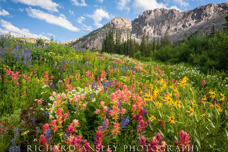 Albion Basin Wildflowers-Alta, Utah