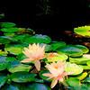 Water Lilies at Japanese Pond at Zilker Botanical Gardens, Austin Texas