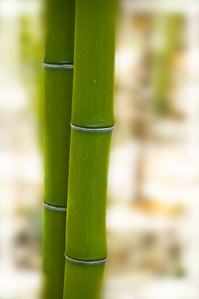 Couple of Bamboos. Quail Botanical Garden. Encinitas, California.