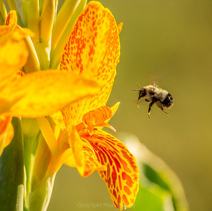 bumblebee hungry 2020 (1 of 1)