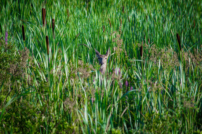 deer in reeds (1 of 1)