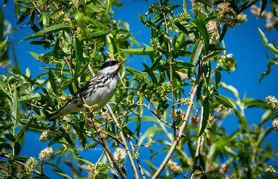 Blackpoll Warbler (male)