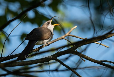 Yellow-billed Cuckoo (down the hatch)