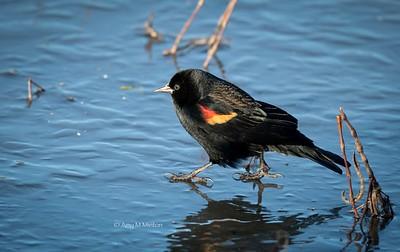 Red-winged Blackbird (male) walking on frozen pond