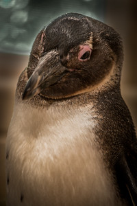 Oliver the African Penguin