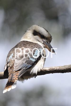 kookaburra (3)
