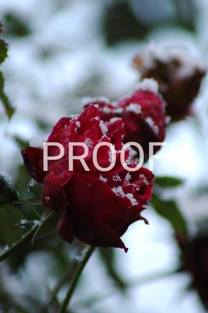 Snow Rose Germany