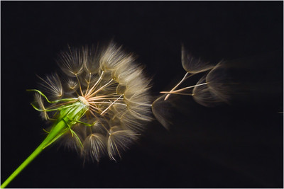 I had fun trying to do 'suspended' seeds with this Salsify. It involved an off-camera flash and a hair dryer...and a LOT of missed shots!