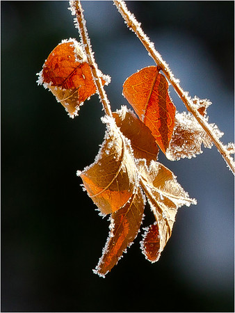 I actually found a few leaves still hanging on after the 4 snow storms... It was below zero this morning when I took the photos...