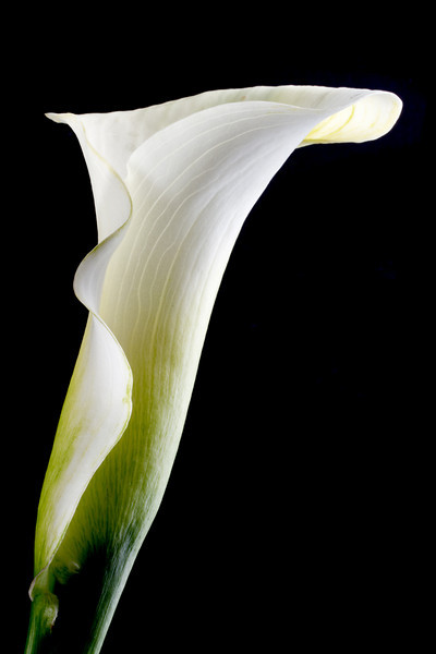 Calla lily. In natural light through my living room window...