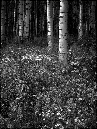 This aspen forest shot is from a beautiful hike in August near Crested Butte, Colorado.  Not quite Ansel Adams yet!