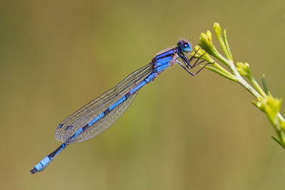 A very common and very delicate-looking damselfly. I think it is a Familiar Bluet.