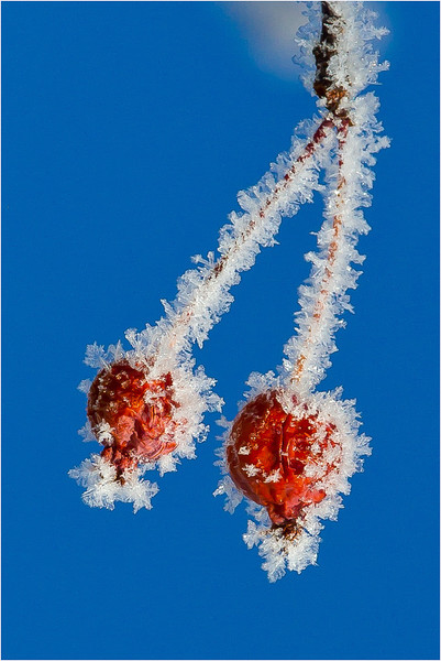 A frosty morning and what's left of our flowering crabapple trees... That is our Colorado blue sky, by the way!