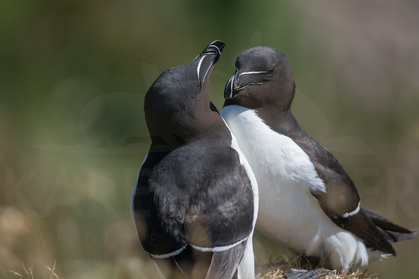 Pair of Razorbills