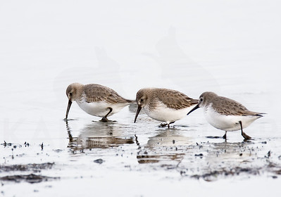 A Trio of Dunlin