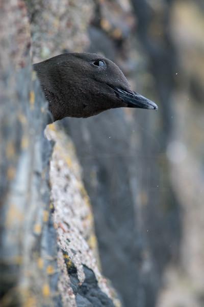 Black Guillemot nesting in Oban