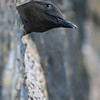 Black Guillemot nesting in Oban