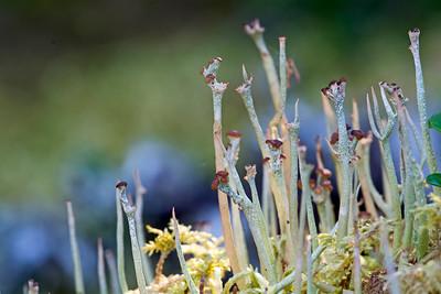 lichens 100 islands