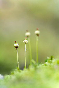 Moss fruiting bodies 100 Islands